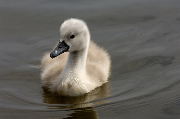 The Myth of the Ugly Duckling (6/6)